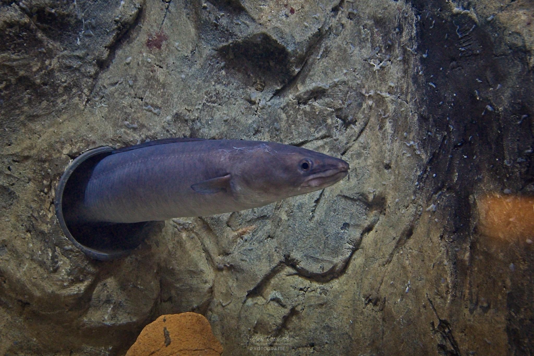Muräne im Aquarium