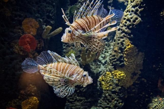 Rotfeuerfisch im Aquarium