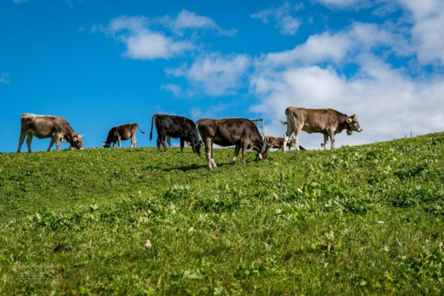 entspannte Kühe