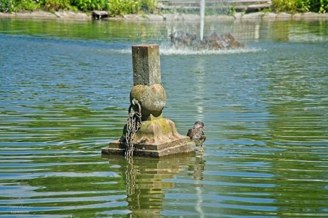 Stockente im Teich